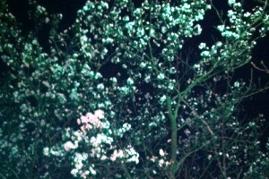140404夜桜.JPG