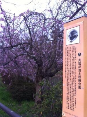130403真狐池の桜.JPG