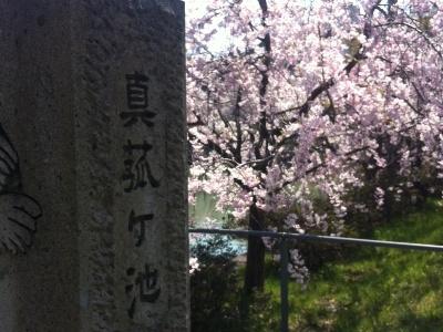 140411真狐ヶ池桜.JPG
